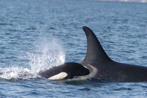 Keeping Up: Southern Resident Killer Whale mother and her calf swimming.: Photograph courtesy of National Oceanic and Atmospheric Administration National Ocean Service