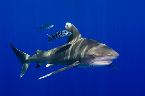 Oceanic white tip shark: Some species, such as the oceanic white tip, have experienced declines of up to 99 percent. Due to their life history characteristics of slow growth, late maturity, and production of few young, sharks are exceptionally vulnerable to overexploitation and slow to recover once depleted.  Photograph by Jim Abernethy courtesy of the Pew Environment Group