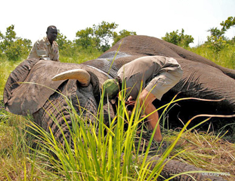 Ministry and WCS team fixing collar on adult male elephant, Republic of South Sudan.: Photograph© Rob Craig WCS