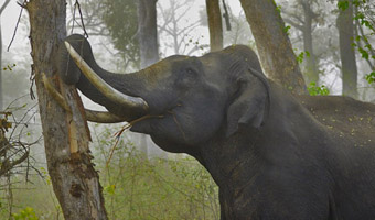 Asian elephant debarking a tree with its tusks: Image and text by Yathin S Krishnappa courtesy of Wikipedia.