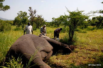 (Left to Right) Minister Gabriel Changson, Field Veterinarian Dr. Mike Kock, WCS's Michael Lopidia collaring adult: female elephant, Republic of South Sudan. Photograph© Paul Elkan WCS