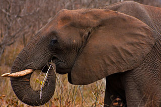 An African elephant in Kruger Park using its prehensile trunk for foraging: Photograph courtesy of Wikipedia.