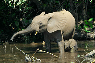 Forest elephants in the Mbeli River, Nouabalé-Ndoki National Park, Congo.: Photograph courtesy of Wikipedia.