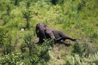 Adult male elephant waking up after immobilization and collaring, Republic of South Sudan.: Photograph © Paul Elkan WCS