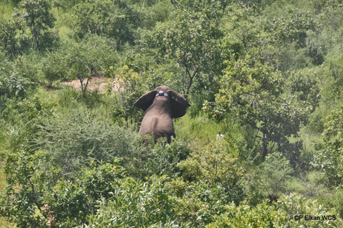 Elephant standing up after immobilization and collaring, Republic of South Sudan.: Photograph© Paul Elkan WCS