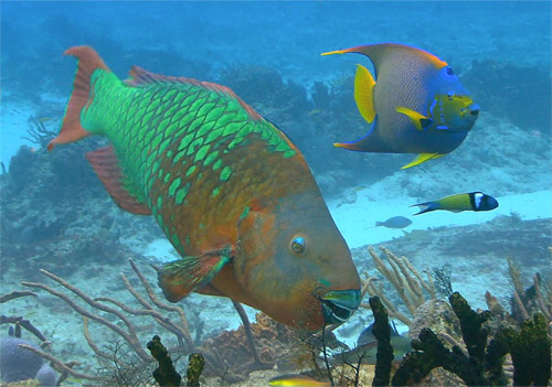 Rare sighting today Large rainbow parrotfish grazing in the Caribbean: Photograph courtesy of and (c) Shutterstock.com