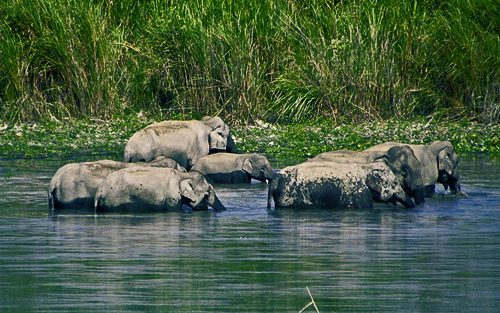 A family of elephants bathing, a behavior which reinforces social bonding: Photograph by Arnabjdeka  Courtesy of Wikipedia