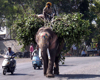 "Elephant working.""There were 13,000–16,500 working elephants employed in Asia as of 2000,"" according to J. A. McNeely who wrote ""Elephants in Folklore, Religion and Art,"" in the book  Elephants: Majestic Creatures of the Wild.: Photograph courtesy of Wikipedia."