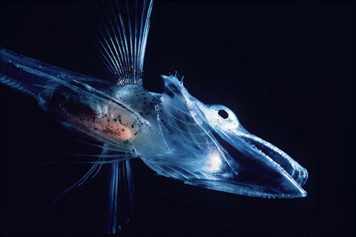 An icefish off the coast of Antarctica.: The Antarctic icefish belong to the perciform suborder Notothenioidei and are the largely endemic, dominant fish taxa in the cold continental shelf waters surrounding Antarctica.  Photograph courtesy of Wikipedia