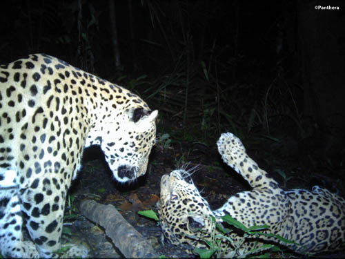 An intimate portrait of a male and female jaguar, the latter rolling on the ground.: Photograph ©Panthera