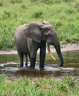 Male forest elephant at the Langoué Bai (forest clearing), Ivindo National Park, Gabon.: This male came to the clearing to drink mineral-rich water, obtained from pits dug by elephants at specific locations within the clearing. Photograph by Peter H. Wrege courtesy of Wikipedia