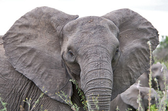 African elephant with ears spread in a threat or attentive position; note the visible blood vessels.: Photograph courtesy fo Wikipedia