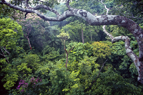 Tropical rainforest on Barro Colorado Island, Panama, near the site of the study.: Photograph by Marcos Guerra, STRI