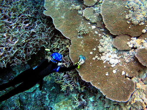 Biologist studying tumors on coral; climate warming may fuel lethal coral diseases.: Photograph by B. Willis courtesy of NSF