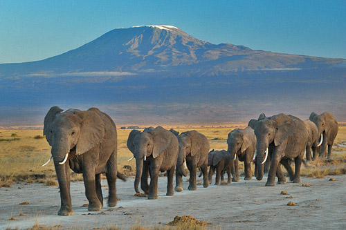 A family of African elephants in Amboseli National Park: note the protected position of the calves in the middle of the group: Photograph by Amoghavarsha Courtesy of Wikipedia