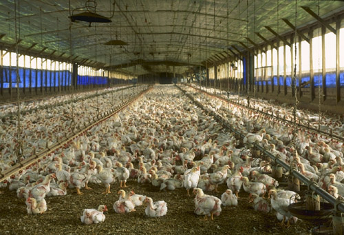 A commercial meat chicken production house in Florida, USA: Photograph by USDA courtesy of Wikipedia