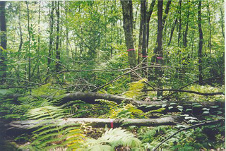 On the ground: looking into Harvard Forest's trees from a less lofty perch.: Photograph courtesy of NSF Harvard Forest LTER Site