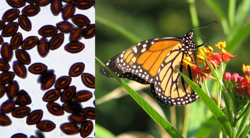 Monarch butterflies carry infections in parts of the U.S. where they breed year-round.: Photograph courtesy of NSF by P. Davis and S. Altizer