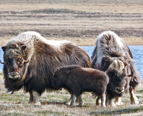Muskoxen may be susceptible to arctic climate change and emerging infectious diseases.: Photograph by S. Kutz courtesy of NSF