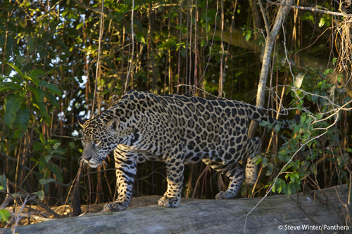 Jaguars use and require Protected Areas, but they move beyond them in search of food, space, and in order to breed, to pass: along their genes into the future. Panthera's Jaguar Corridor Initiative aims to link core jaguar populations within the human landscape from northern Argentina to Mexico, preserving their genetic integrity so that jaguars can live in the wild forever. Photograph by Steve Winter courtesy of Panthera.