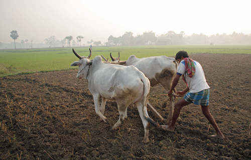 A farmer ploughs his field with oxen in Kadmati Village, Brahampur, West Bengal, India.: Photograph courtesy of Wikipedia.