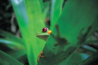 Tropical forests on Barro Colorado Island are home to such animals as red-eyed tree frogs.: Photograph courtesy of STRI
