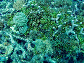 Reef degradation - Corals overgrown by algae, Dry Tortugas, Florida Keys, 2000: Photograph courtesy of and (c) Mark Chiappone