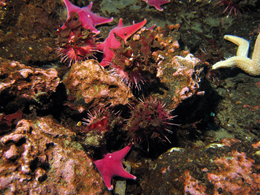 Sea stars and sea urchins are among the organisms found in abundance on the seafloor of McMurdo Sound.: Photograph courtesy of NSF  by Andrew Thurber