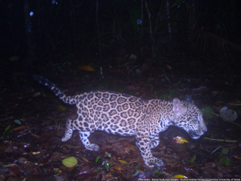 A jaguar cub caught on camera in Belize's Cockscomb Basin Wildlife Sanctuary.: Photograph©Panthera