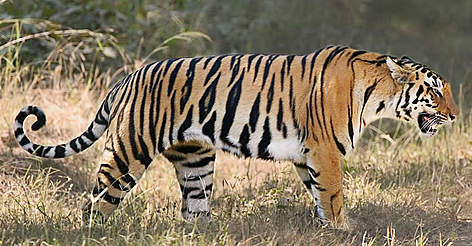 Indian tiger (Panthera tigris tigris) or Bengal tiger: The Bengal tiger is found primarily in India with smaller populations in Bangladesh, Nepal, Bhutan, China and Burma. It is the most numerous of all tiger sub-species with around 1,850 left in the wild. The creation of tiger reserves in the 1970s helped to stabilise numbers but poaching in recent years inside the reserves has once again put the Bengal tiger at risk. Photograph © WWF-Canon / Roger HOOPER