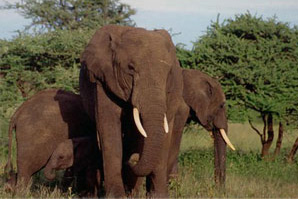 An African elephant (Loxodonta africana): Photograph courtesy of CITES
