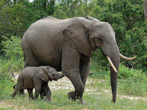 Loxodonta africana, elephant and baby in Kruger National Park, South Africa: Photograph by and © Bernard DUPONT courtesy of Flickr EOL images.
