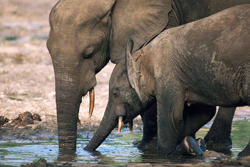 Forest elephants at water.: Photograph courtesy of WWF.
