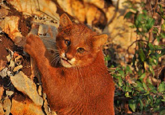 Jaguarundi (Puma yagouaroundi), one of various species of wild cat in danger of extinction in the Sierra Gorda.: Photo by Roberto Pedraza Ruiz.