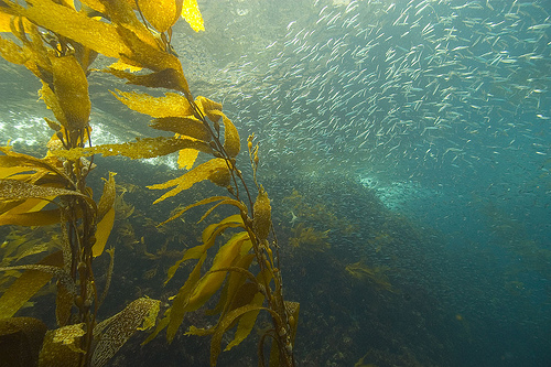 Kelp and sardines, Anacapa Island, Channel Islands National Marine Sanctuary.: Text and Photograph courtesy of NOAA's National Ocean Service