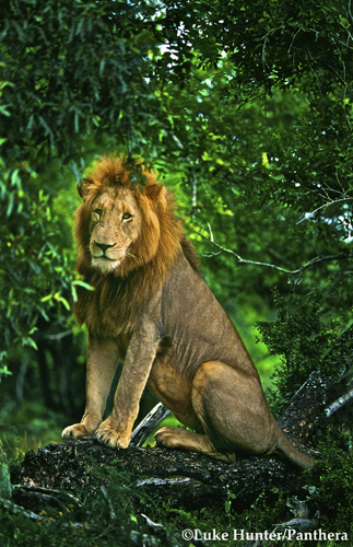 Lion: Photograph by Luke Hunter for and courtesy of Panthera