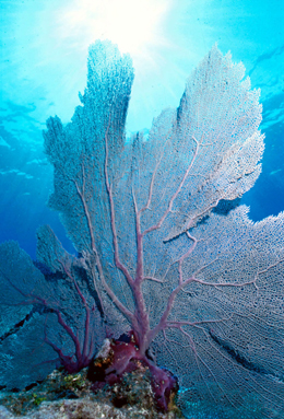 The common sea fan is but one of the species being affected by acidifying oceans.: Photograph courtesy of NOAA