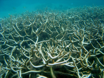 Coral reefs in the tropics and beyond are threatened by acidifying oceans.: Photograph courtesy of NOAA