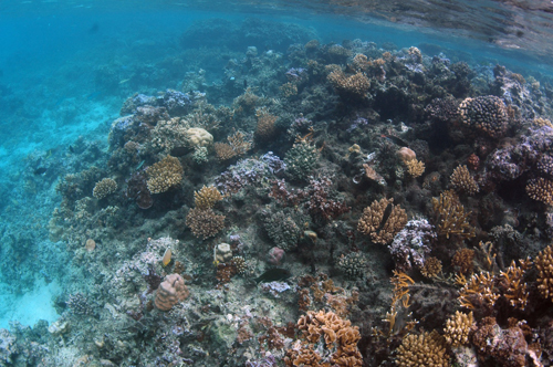 Beautiful coral reefs that ring the island of M'oorea are affected by acidifying ocean waters.: Photograph courtesy of NSF M'oorea Coral Reef Long-Term Ecological Research Site