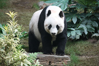 Giant Panda.: Photograph by J. Patrick Fischer, taken in Ocean Park, Hongkong Courtesy of Wikipedia