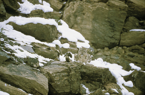 A phantom of the peaks, the snow leopard is difficult to spot even when in full view.: Photograph from Tibet Wild by George B. Schaller. Reproduced by permission of Island Press.