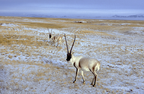Two male chiru in striking nuptial pelage pose during the December mating season.: Photograph from Tibet Wild by George B. Schaller. Reproduced by permission of Island Press.